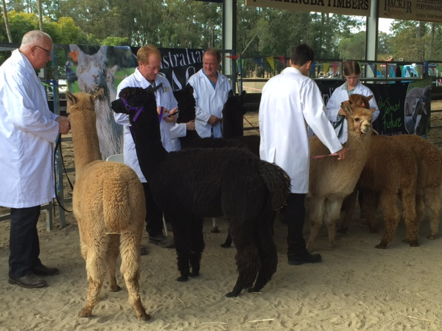 Alpacas being judged at the Farm Fantastic Expo, Caboolture © GreenSocks